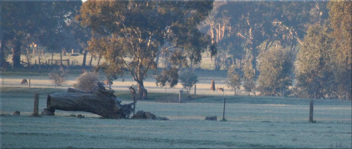 frosty_morn_kangaroos