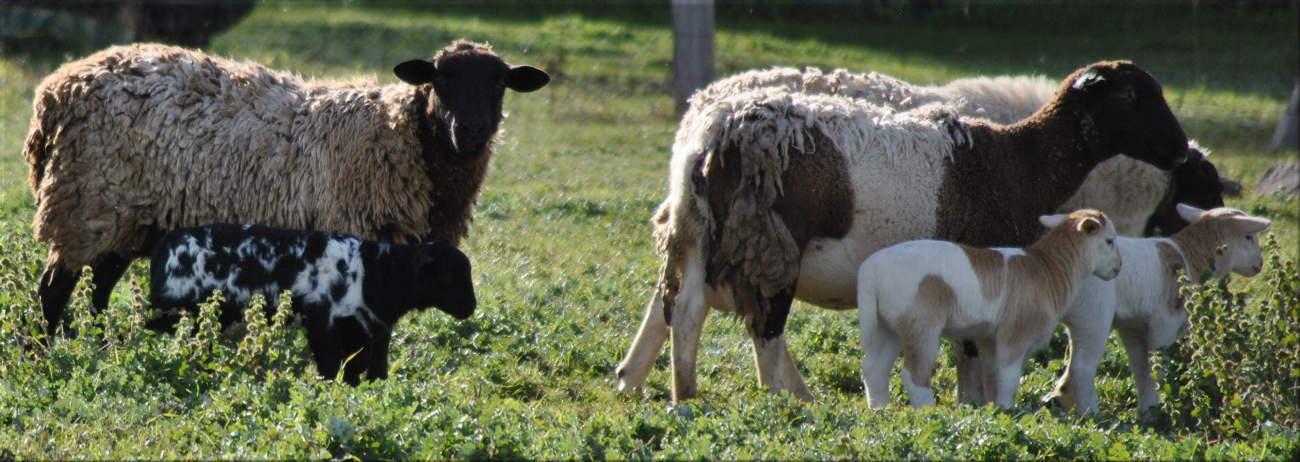 lambs2