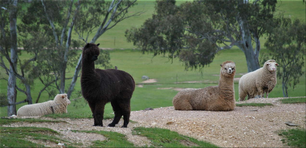 alpacas_sheep2