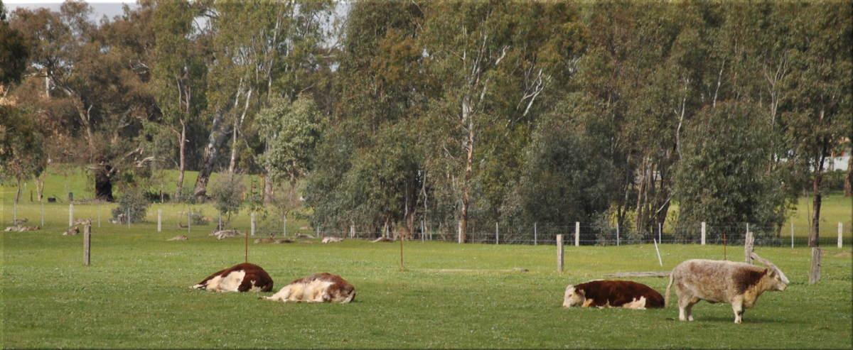 cows_kangaroos