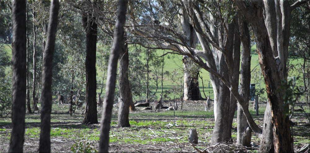 kangaroos_forest