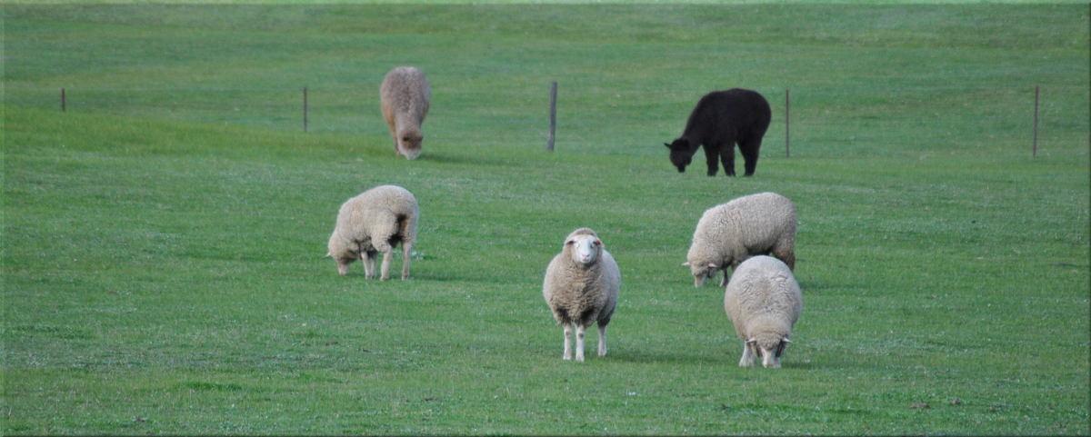 sheep_alpacas