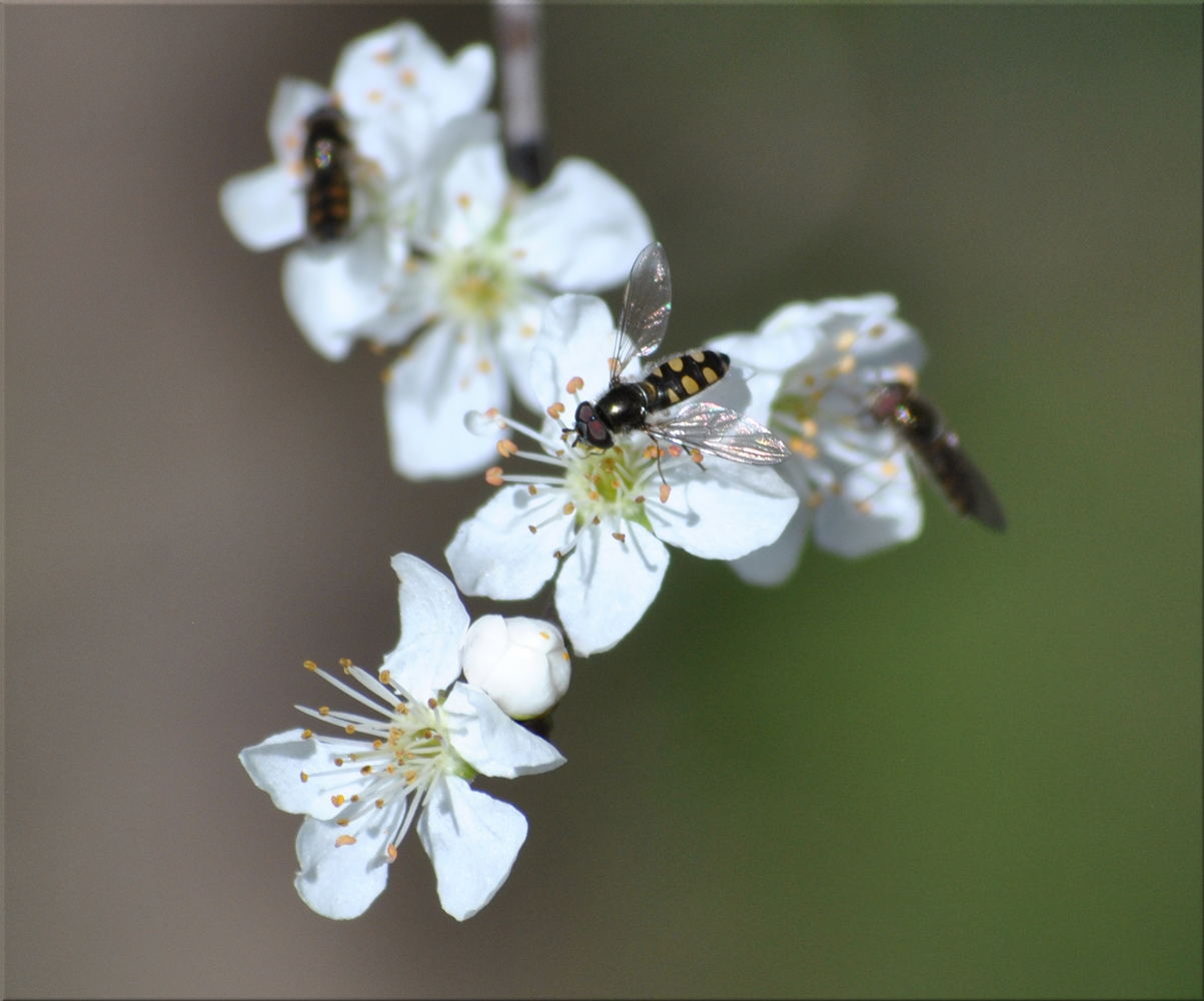 hoverfly_hawthorn