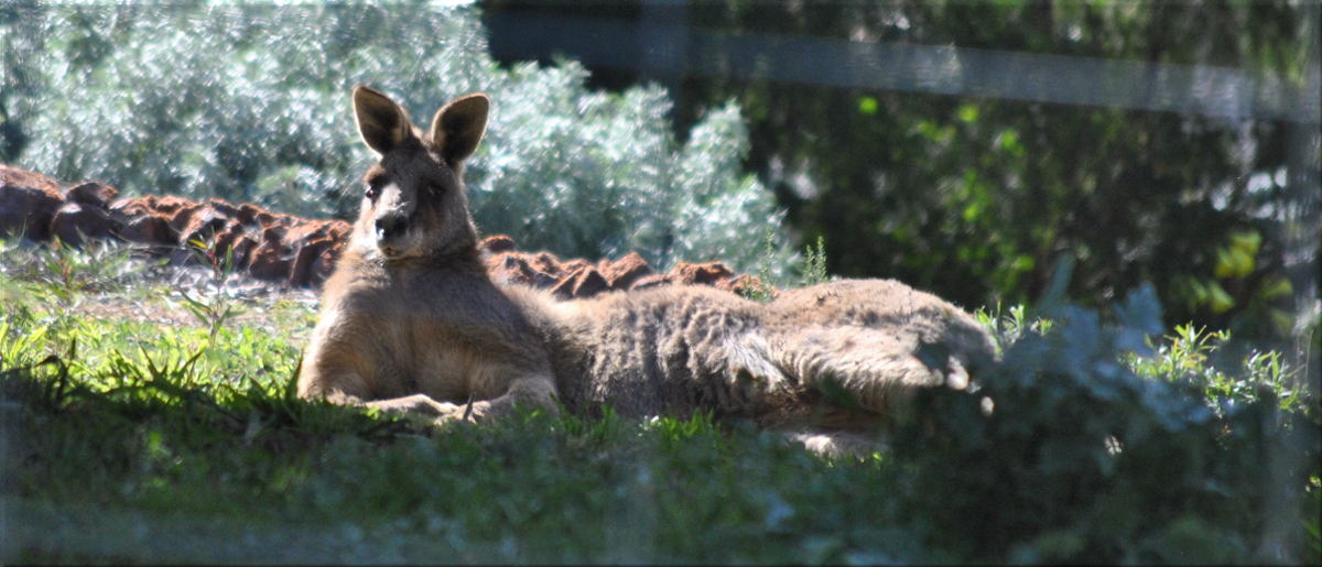 kangaroo_in_yard2.jpg