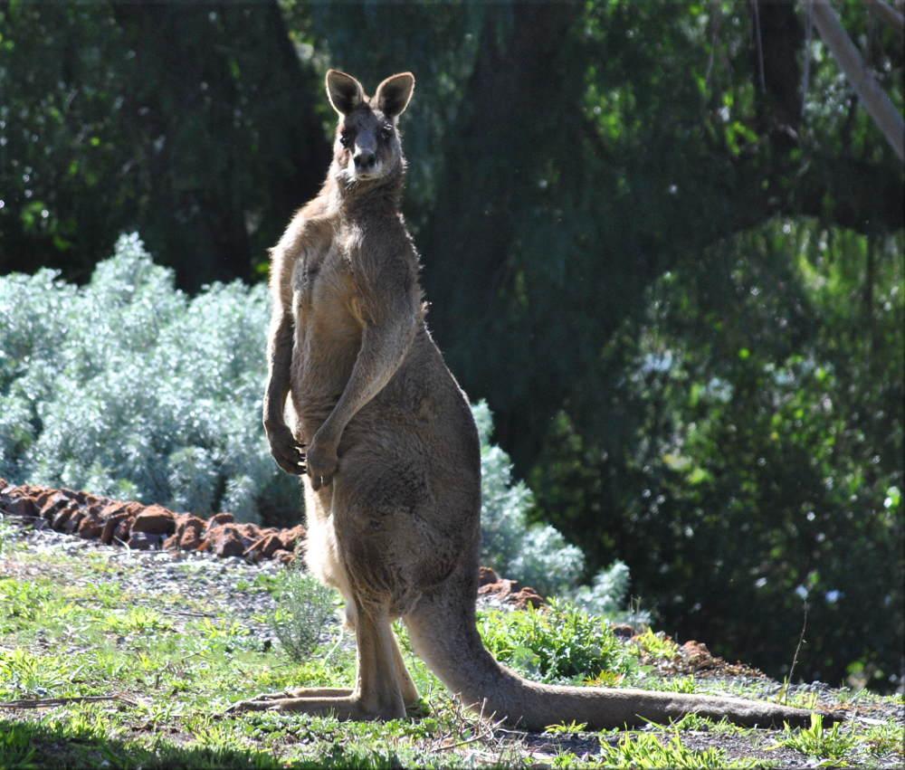 kangaroo_in_yard3